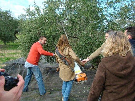 Begijar, Španělsko: Vive la recogida de la aceituna