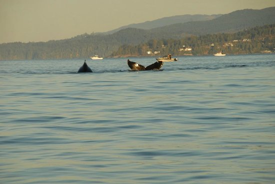 Sooke Harbour House Resort Hotel : Whales Playing out front