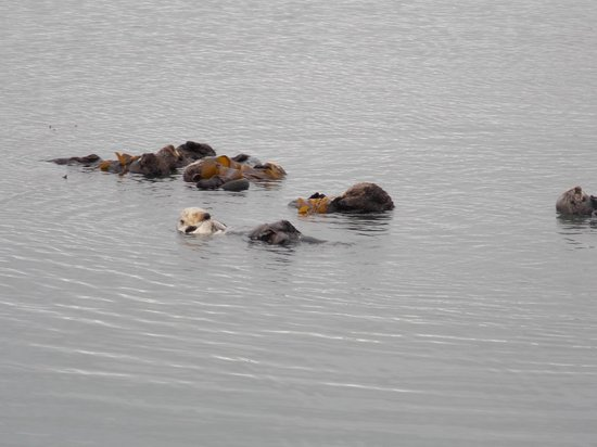 Monterey Bay National Marine Sanctuary: Sea otters caring for their young