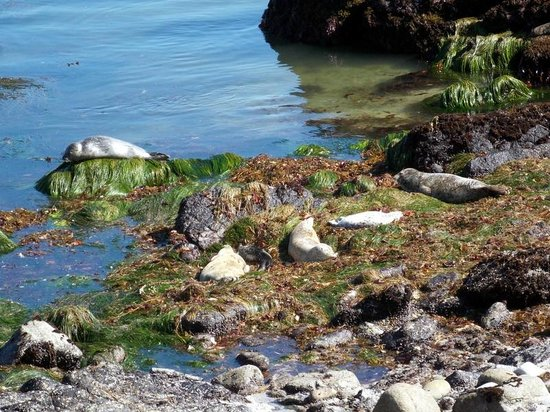 Monterey Bay National Marine Sanctuary: Seals sleeping in the sun