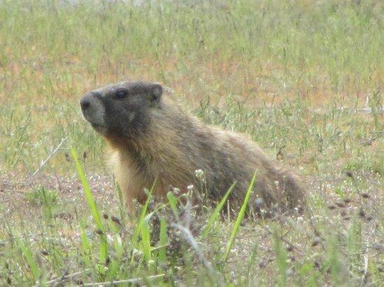 Alpine Rivers Inn: Marmot!