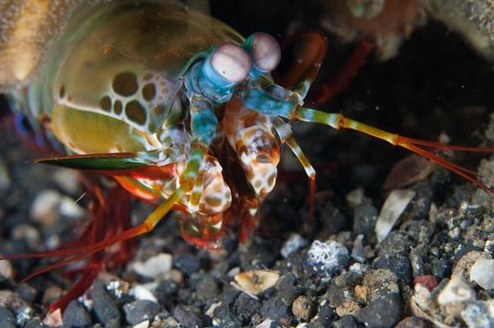 Eco Divers Resort Lembeh: Mantis shrimp are hard to catch but beautiful to look at