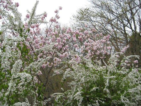 Hanamiyama Park: 桜とユキヤナギ
