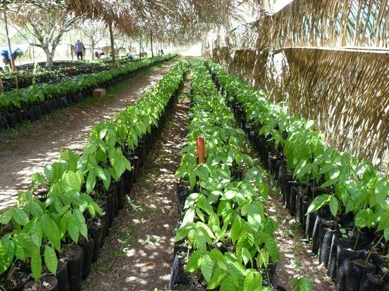 Belcampo Lodge: Cacao tree seedlings in the nursery