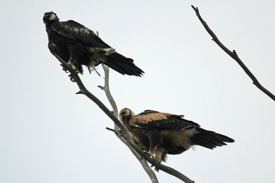 Stranraer Homestead: Wedge tailed eagles