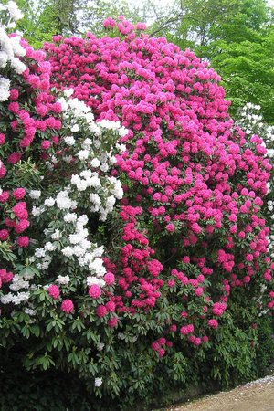 Chiddingfold, UK: Cynthia our huge Rhodie in full flower