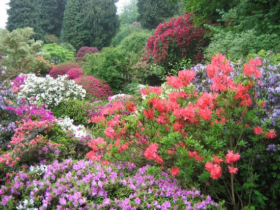 Ramster Gardens: The Azalea Garden in full bloom (usually mid May)