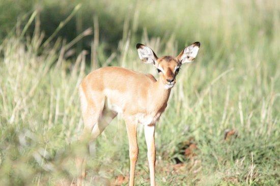 Morokolo Game Lodge: Baby impala