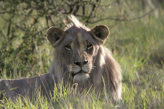 Morokolo Game Lodge: Young male lion