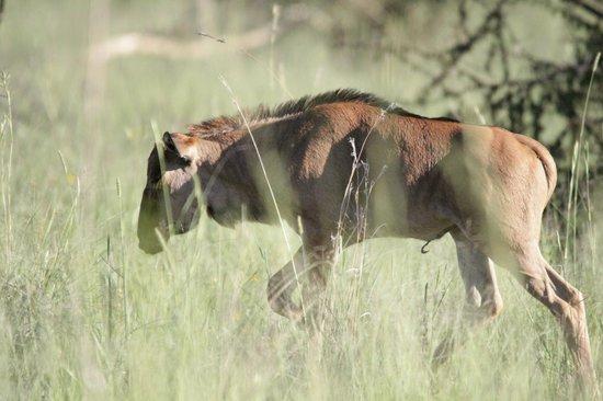 Morokolo Game Lodge: Wildebeest calf