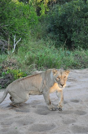 Tangala Safari Camp: Lioness, early morning 30 April 2013