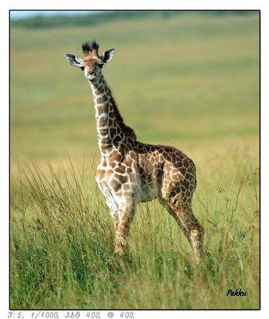 Porini Lion Camp: Baby Giraff
