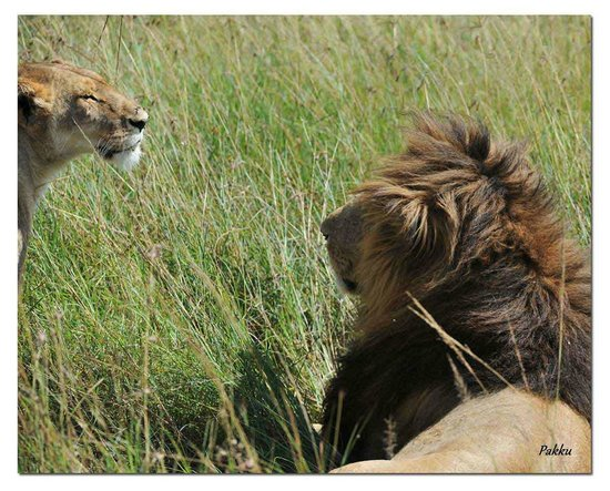 Porini Lion Camp: The Pair