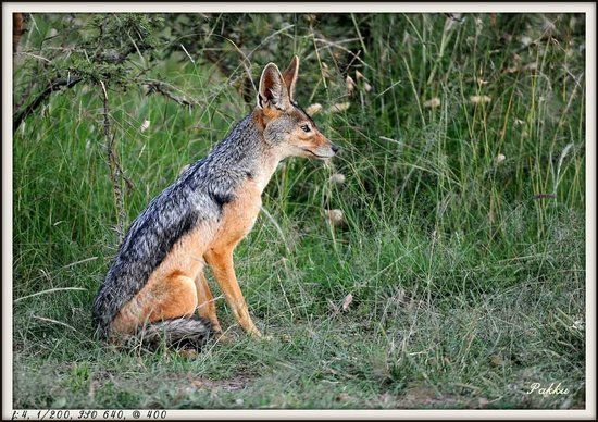 Porini Lion Camp: Jackal Mom