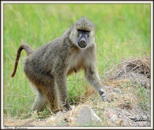 Porini Lion Camp: Baboon