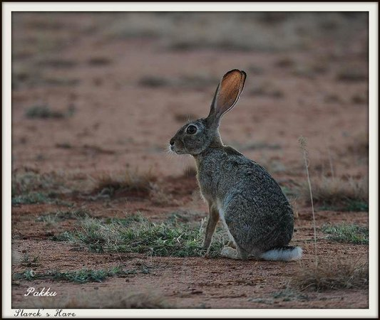 Porini Lion Camp: Fox eared Hare
