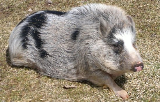 The Kaaterskill: Victoria the pig...