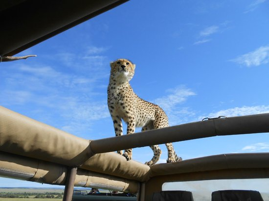 Naibor Camp: This cheetah jumped on top of our rig for a better view of the surroundings:)