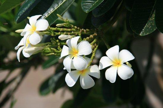 Elements Boutique Resort & Spa Hideaway : Fleurs de frangipanier (au bord de la piscine)
