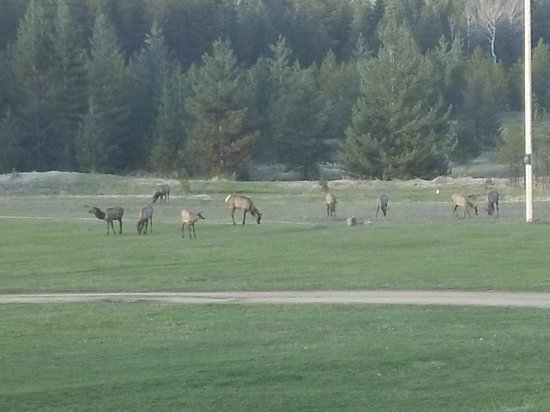 Amber Bear Inn: Wild Elk in Front Yard of Inn