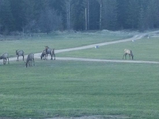 Amber Bear Inn: Wild Elk on Driveway Inn, View From Room