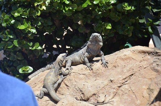 Torres Mazatlan Resort: Iguana