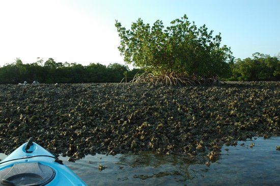 Up a Creek Kayak Tours : Oyster Bed