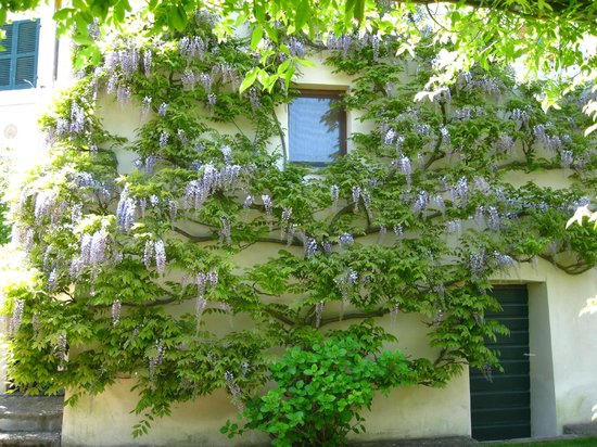 Appartamenti al Poggiolo : Wysteria growing on the house, looking from the garden area