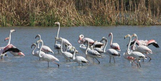 Valencia Birding Birdwatching Tours: Wild flamigos