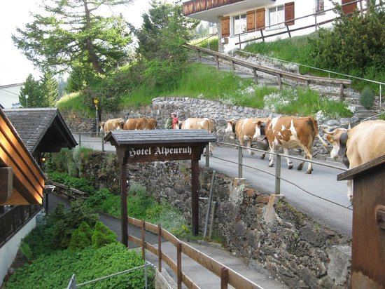 Hotel Alpenruh: Cows passing in front of hotel on way to meadows above