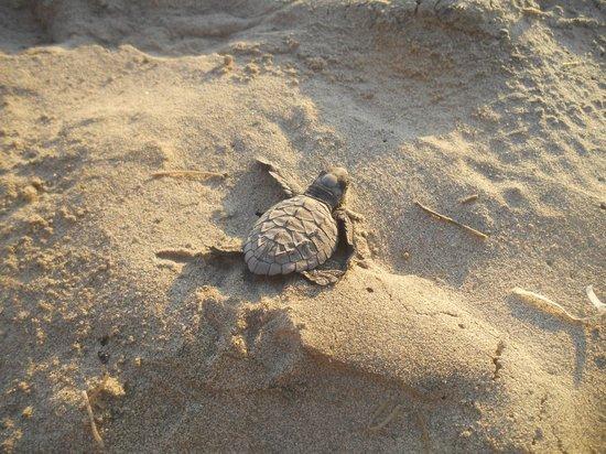 Hard Rock Hotel Vallarta : Baby Sea Turtle