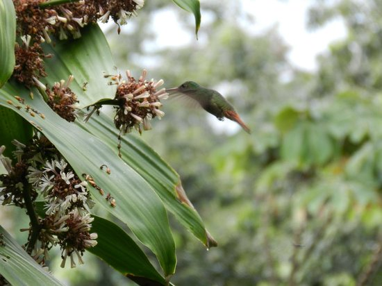 Cabinas la Catarata: a hummingbird as seen from our deck