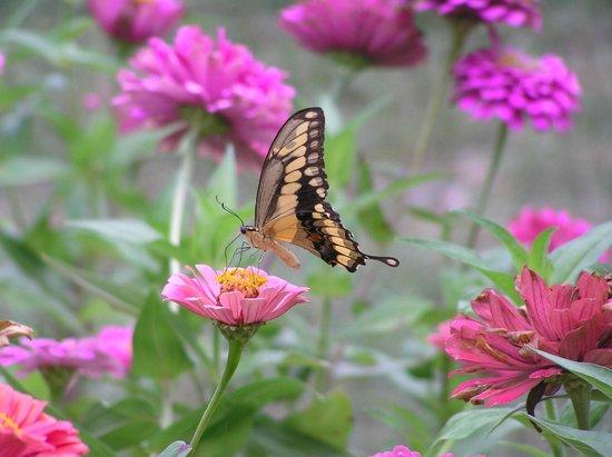 The Fig Preserve: Butterflies abound in the garden