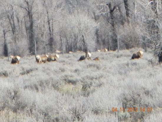 National Elk Refuge: elk pride