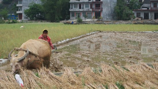 Yangmei Ancient Town of Nanning: buffalo are being used