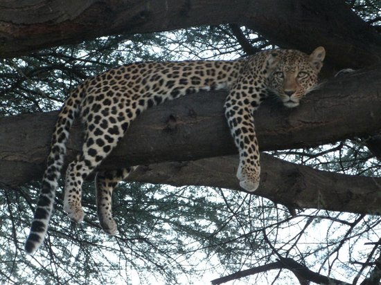 Moremi Game Reserve, Botsuana: The leopard