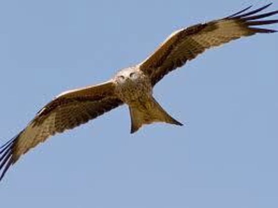 Hotel A Piattatella: Red Kite