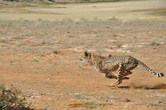 Inverdoorn Game Reserve: Velvet the cheetah at full speed sprint