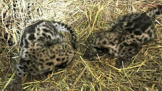 Cape May County Park & Zoo: Twin snow leopard cubs born on April 20, 2013.