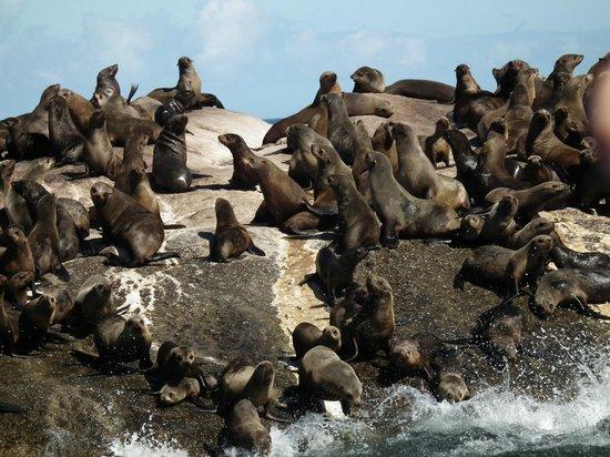 Duiker Island: Foche su