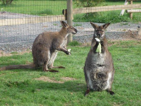 Parc Aux Kangourous Avec Bb Kangourou Photo De Hotel Restaurant Le