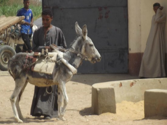 ACE- Animal Care in Egypt: Another donkey arrives for a bit of pampering!