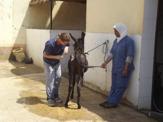 ACE- Animal Care in Egypt: A vet and assistant working on an ulcer.