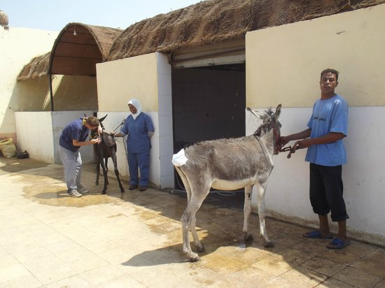 ACE- Animal Care in Egypt: Arriving for sand bath and shower treatment.