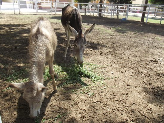 ACE- Animal Care in Egypt: A mother and her young donkey, born a while before we visited.