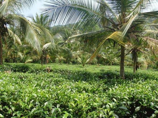 Sergeant House: Tea bushes at Kahanda Kanda