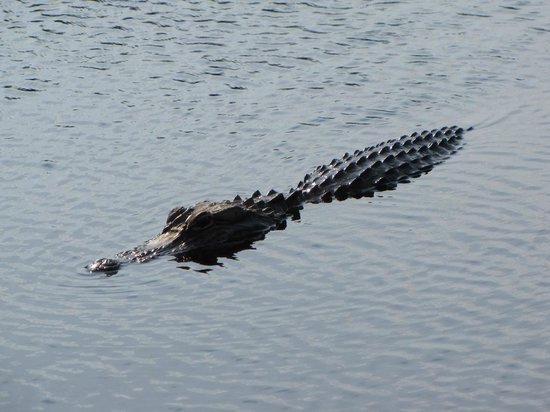 Savannah National Wildlife Refuge: Alligator in Savannah Wildlife Refuge