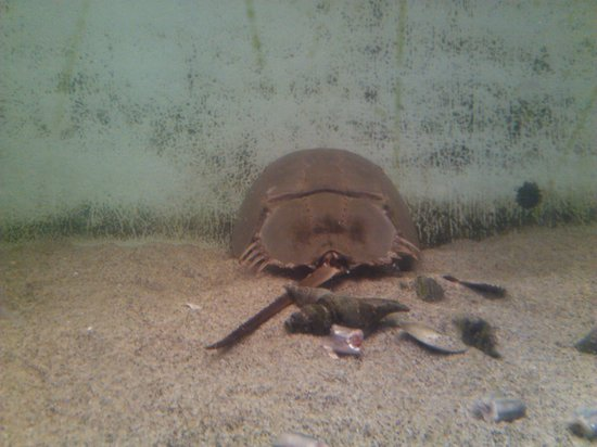 Morro Bay Aquarium: horseshoe crab