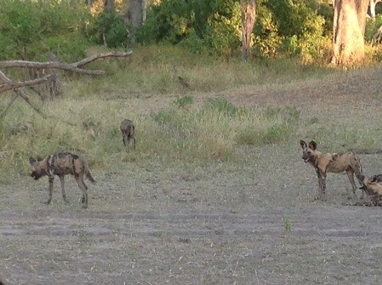Wilderness Safaris Savuti Camp: Wild Dogs