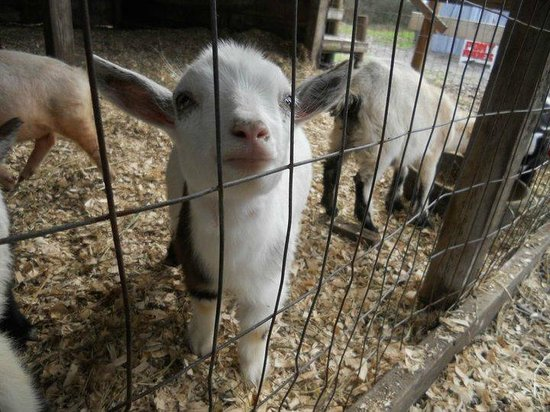 A Baby Goat In The Petting Zoo Picture Of Horse Power